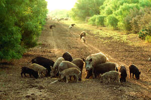 Texas holds the nation's largest population of feral hogs, and the pigs cause an estimated $54 million a year in damage to Texas agriculture, tens of millions more in damage to private property, compete with native wildlife for habitat, prey on some species of native wildlife and carry contagious diseases that can affect domestic livestock.
