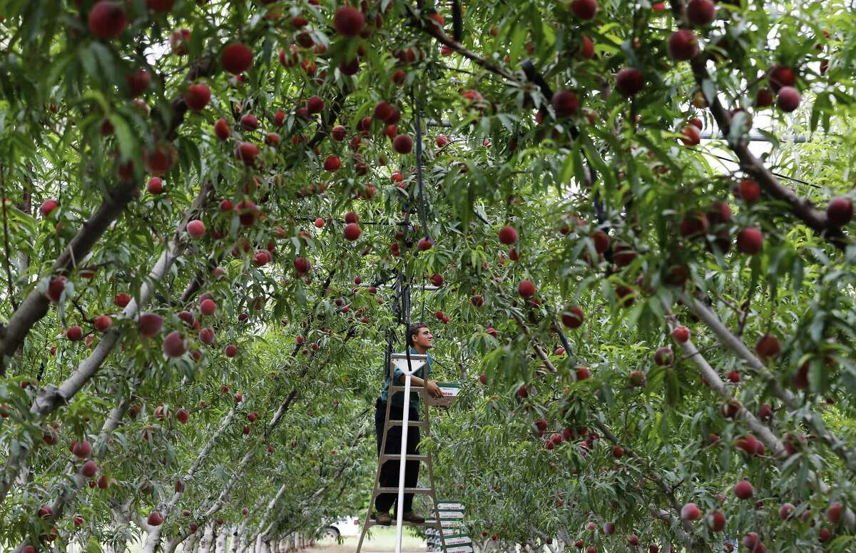 Melvin Horst picks Fire Zest cling peaches for Studebaker Farms. Winter pretty much stood up South-Central Texas this year, and the evidence will soon be showing in this summer's lackluster crop of Hill Country peaches.