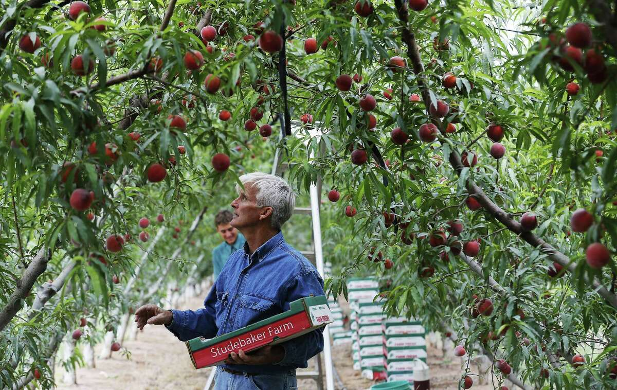 Farmer Russ Studebaker surveys a crop of Fire Zest peach trees for picking at his orchard near Stonewall. Lacking an adequate number of