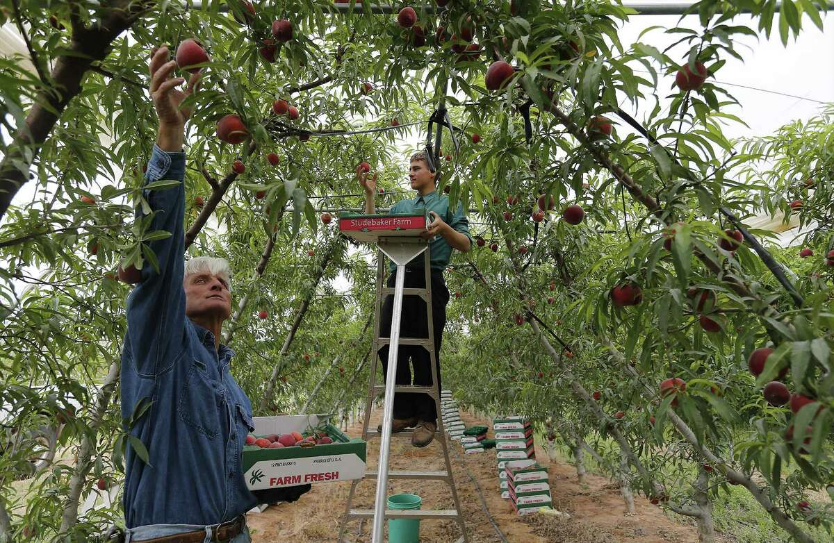 Farmer Russ Studebaker (left) and worker Melvin Horst pick from a crop of Fire Zest peach trees in Blumenthal, Texas. The Fire Zest is an experimental