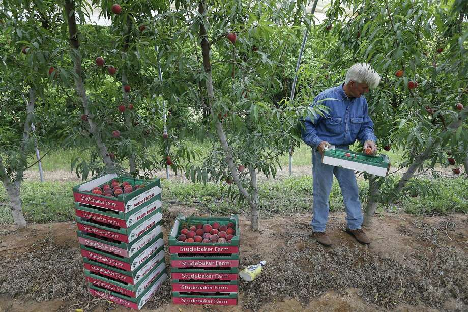 Farmer Russ Studebaker places peaches into containers which he sells at his farm near Stonewall. . Peaches in general will be in higher demand than usual this year, as the Hill Country didn't get enough cold nights for prime peach production and the cold weather that missed Texas orchards hit the Georgia and South Carolina peach crops hard. Photo: Kin Man Hui /San Antonio Express-News / ©2017 San Antonio Express-News