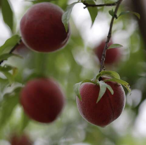 Slim pickings predicted for this year's Hill Country peach crop