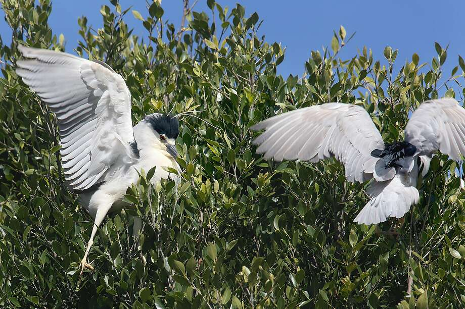 Black-crowned night herons on trees on 14th at Alice streets on Thursday, April 20, 2017, in Oakland, Calif. Photo: Liz Hafalia, The Chronicle