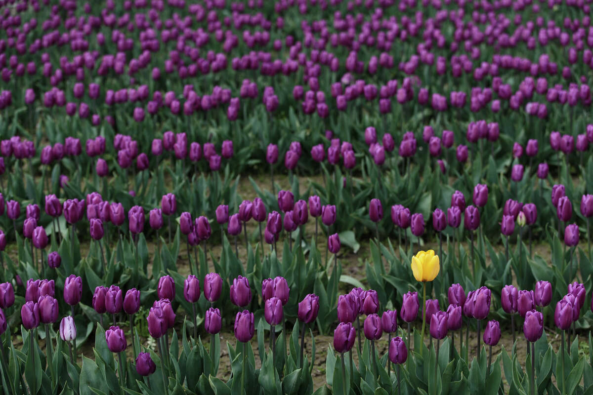 A lone yellow tulip stands in a field of purple tulips at the annual Skagit Valley Tulip Festival on Thursday, April 20, 2017. The tulips festival finishes up at the end of April.