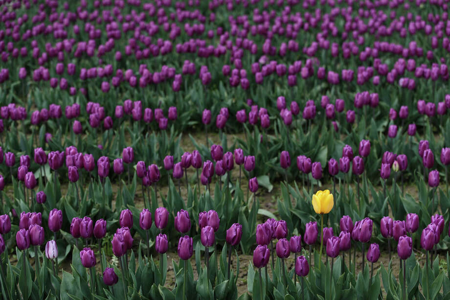 A lone yellow tulip stands in a field of purple tulips at the annual Skagit Valley Tulip Festival on Thursday, April 20, 2017. The tulips festival finishes up at the end of April. Photo: GRANT HINDSLEY, SEATTLEPI.COM / SEATTLEPI.COM