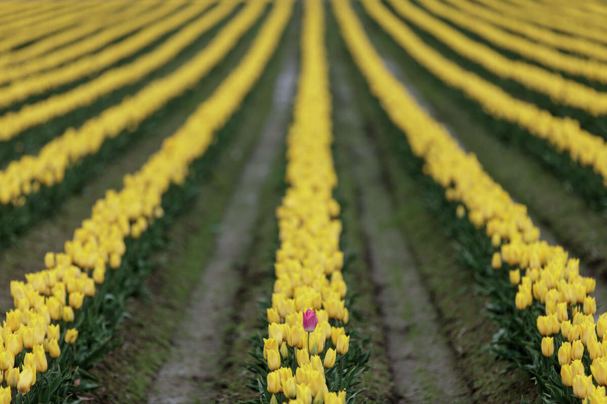 A solo pink tulip stands in a field of yellow tulips at the annual Skagit Valley Tulip Festival on Thursday, April 20, 2017. The tulips festival finishes up at the end of April.