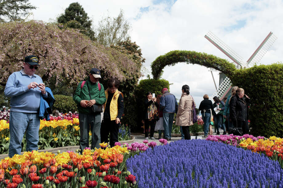 Tourists enjoy tulips and other flowers at the Roozengaarde at the Skagit Valley Tulip Festival on Thursday, April 20, 2017. The tulips festival finishes up at the end of April. Photo: GRANT HINDSLEY, SEATTLEPI.COM / SEATTLEPI.COM