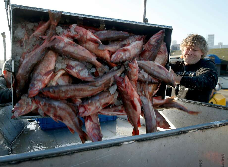 Crew member of the fishing vessel Pioneer, Scott Cadonau, unloads a catch of bocaccio rockfish at Pier 47 in San Francisco, Calif. on Thursday, April 20, 2017. Joe Pennisi, owner of Pioneer Seafoods, has obtained a permit to sell to restaurants and fish companies right off his boat and eventually to the public. Photo: Paul Chinn, The Chronicle