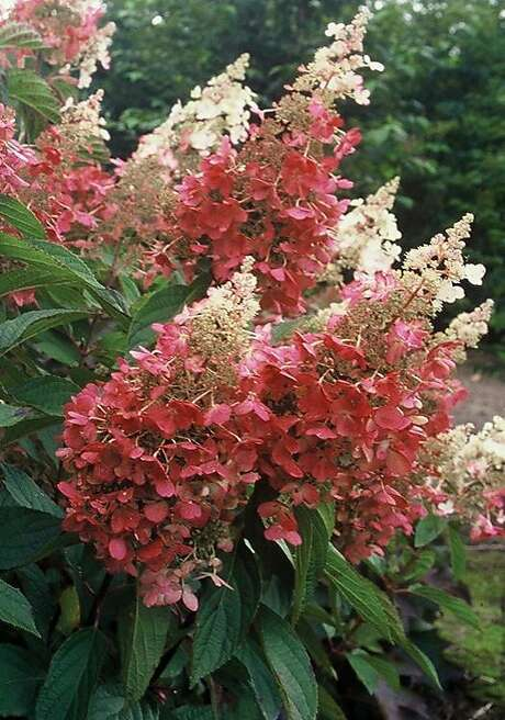 Hydrangea paniculata expands its pink palette with 'Pinky Winky.' Photo: Monrovia Growers