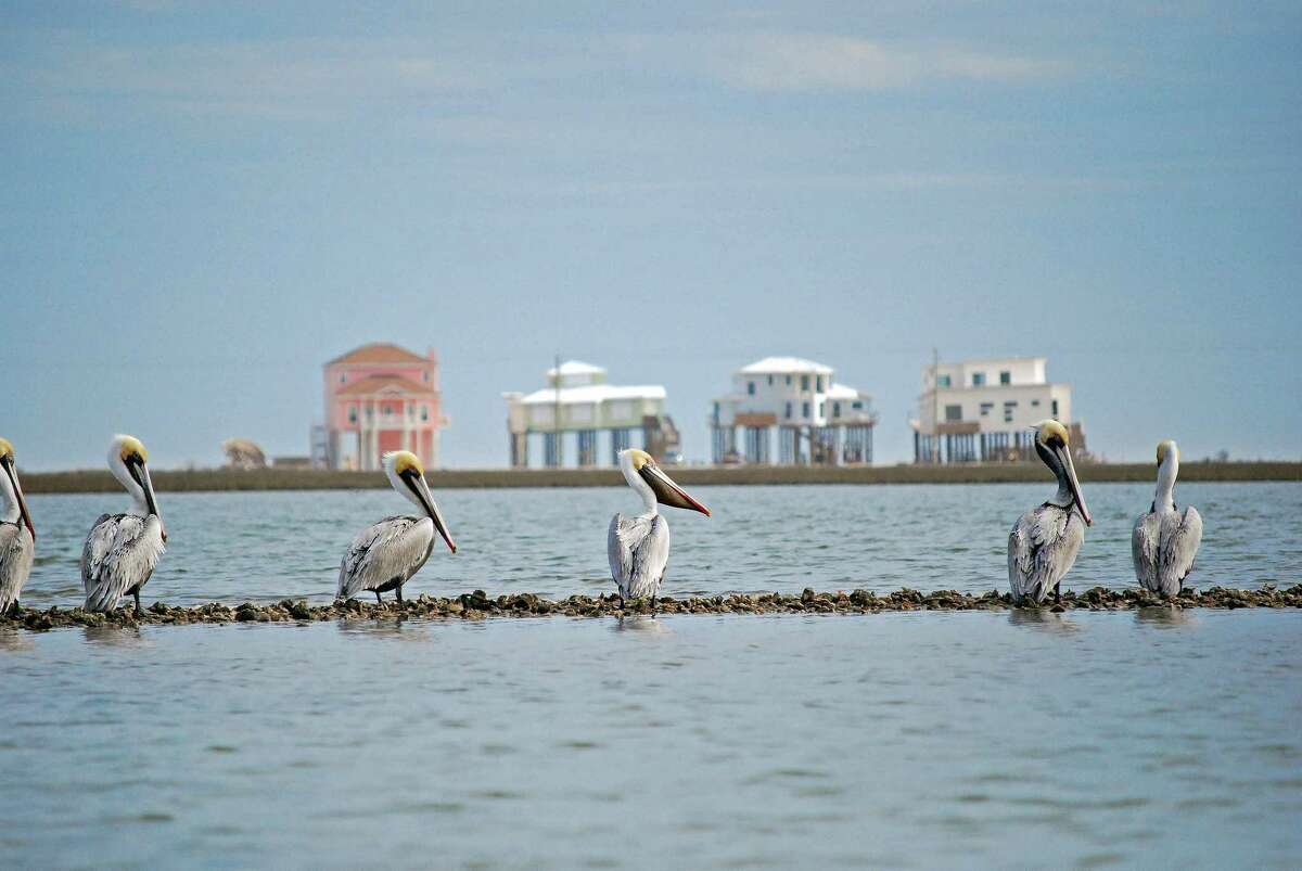Brown Pelicans perch on an oyster reef in Christmas Bay. (File Photo)