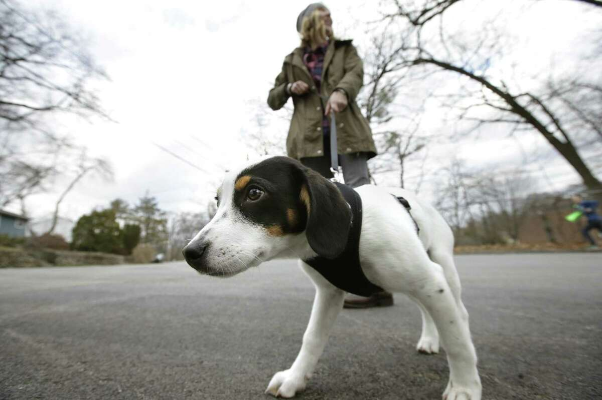 Kate Fredette walks the family dog, Roscoe, near their home in Waltham. The Fredette family found the dog through the online platform How I Met My Dog, that is designed to match humans with dogs based on what really matters: personality, lifestyle and behavior.