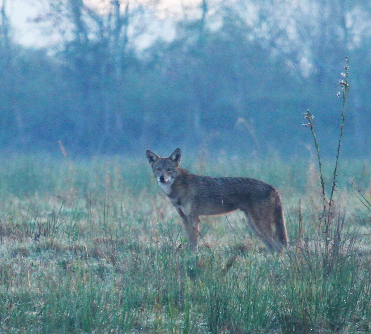 A coyote makes a dawn hunt  through dew-drenched native grasslands on Sabine Ranch. Coyotes are a common and crucial part of the rich diversity of wildlife found on the Jefferson County tract purchased by The Conservation Fund and slated to become a part of the McFaddin National Wildlife Refuge. The property was one of the final places in Texas to support red wolves, a wild canine endemic to the coastal prairie but declared extinct in the state in the 1970s.