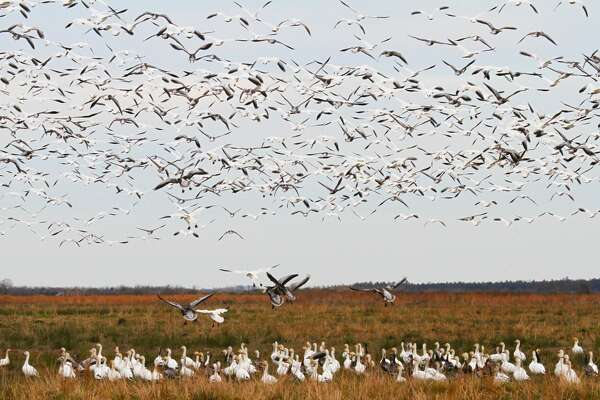 The Sabine Ranch holds crucial wintering habitat for snow geese and dozens of other waterfowl. Some of the largest concentrations of snow geese onhe upper Texas coast can befound on the property recently purchased by The Conservation Fund and slated to become part of the McFaddin National Wildlife Refuge.