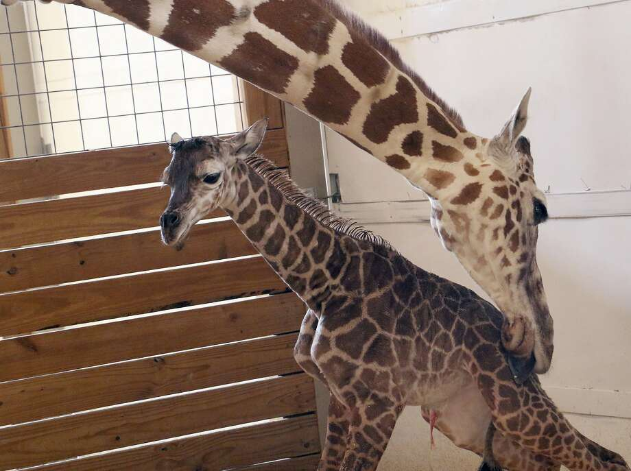 FILE - In this April 15, 2017, file photo, provided by Animal Adventure Park in Binghamton, N.Y., a giraffe named April licks her new calf. The baby's birth was broadcast to an online audience with more than a million viewers. Owners of the animal park won't say exactly how much profit they've pulled in from all April-related ventures, but internet marketing experts conservatively estimate the haul in the hundreds of thousands of dollars. (Animal Adventure Park via AP, File) Photo: Associated Press