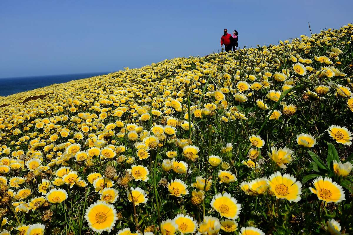 A couple stroll through a field of flowers Sunday on Mori Point in Pacifica. Most people were careful not to trample any blooms.