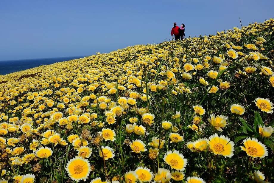 A couple stroll through a field of flowers Sunday on Mori Point in Pacifica. Most people were careful not to trample any blooms. Photo: SFGate