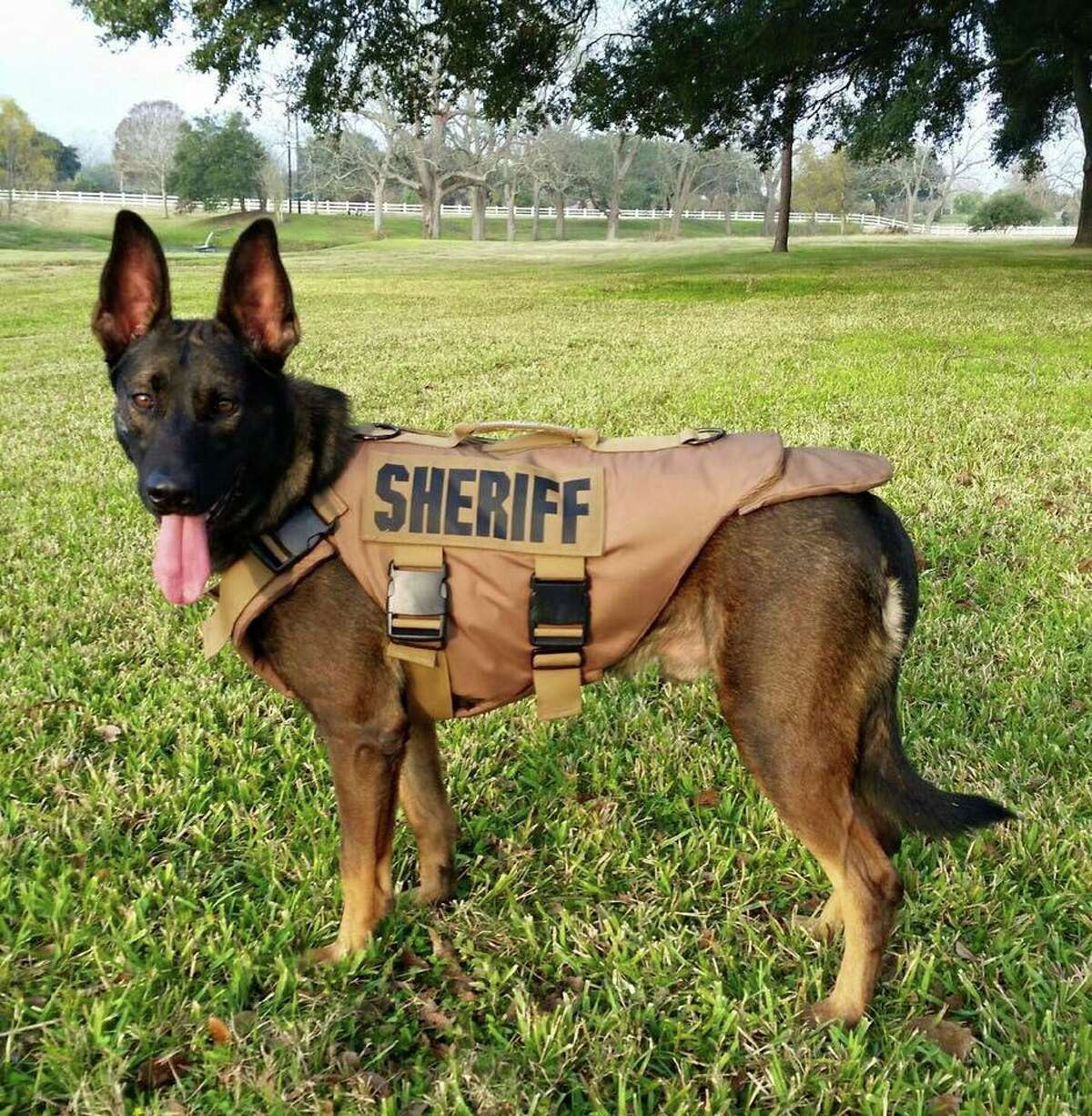 Venomousanimals K9 Rudy, the Fort Bend County Sheriff's Office police dog, was recently bit by a venomoussnake but is expected to make a full recovery. Click through to see the most venomoussnakes, spiders and bugs in Texas.