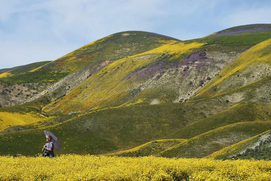"""FILE --A visitors poses for a photo in the Carrizo Plain National Monument near Taft, California during a wildflower """"super bloom,"""" April 5, 2017. After years of drought an explosion of wildflowers in southern and central California is drawing record crowds to see the rare abundance of color called a super bloom. Photo: ROBYN BECK, AFP/Getty Images"""