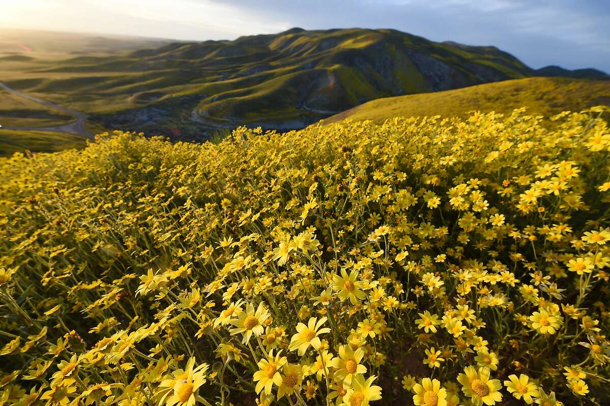 Hillside daisies (coreopsis) cover the hills in the Carrizo Plain National Monument near Taft, California during a wildflower