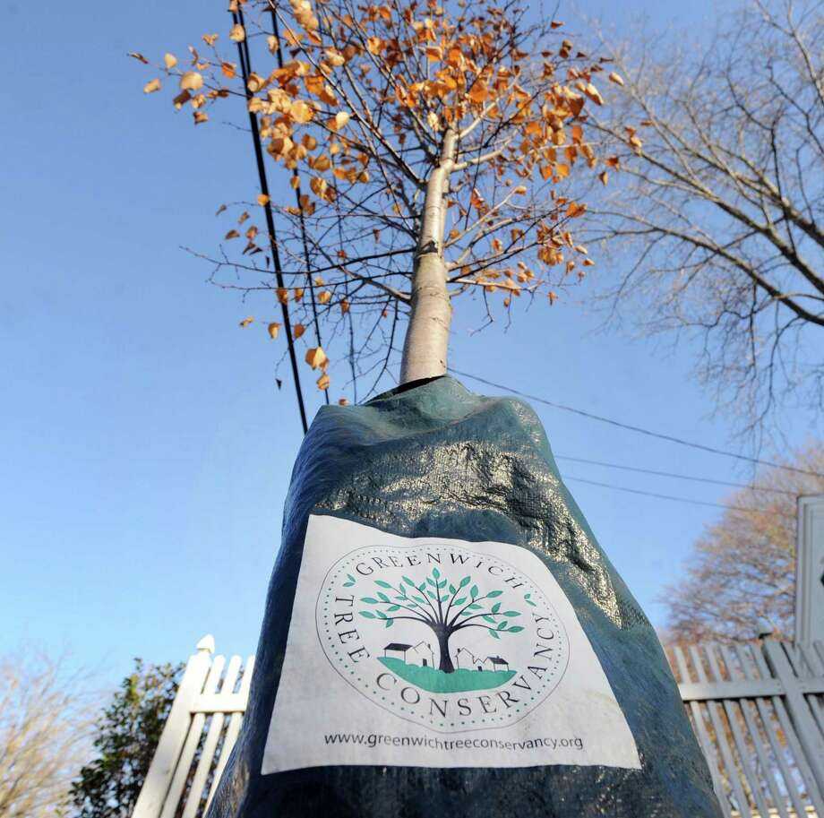Last fall, the Greenwich Tree Conservancy planted this tree, marked by a green bag to retain moisture, on Halsey Drive in Havemeyer Park, Old Greenwich, Conn. This tree is one of 2,500 planted in the past decade by the organization. Photo: Bob Luckey Jr. / Hearst Connecticut Media / Greenwich Time