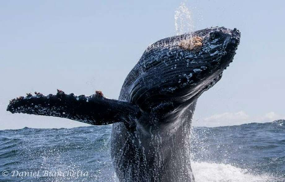 Photographers snapped some amazing pictures of killer whales and humpbacks while watching off the coast of Monterey, Calif. in April 2017. Photo: Daniel Bianchetta/Monterey Bay Whale Watch