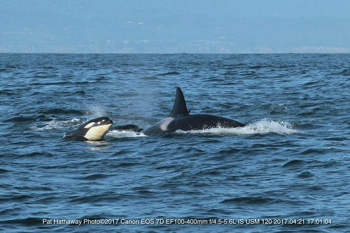 Photographers snapped some amazing pictures of killer whales and humpbacks while watching off the coast of Monterey, Calif. in April 2017.