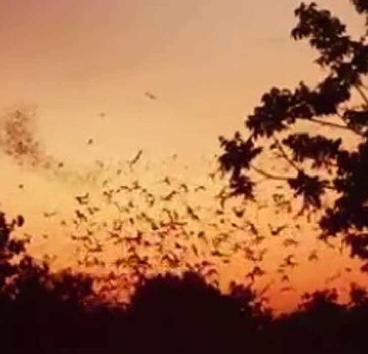 Bats over the Buffalo Bayou.