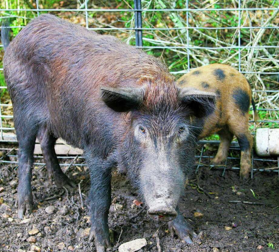 Scimetrics has decide to pull Kaput Feral Hog Bait from use in Texas. The Texas A&M AgriLife Extension Service estimates Texas agriculture suffers about $52 million in damage annually from the hogs. Kaput Feral Hog Bait is laced with warfarin, a blood-thinner that in large doses causes hemorrhaging. Photo: Shannon Tompkins /Houston Chronicle