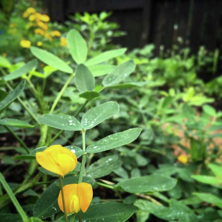 """""""The Foodscape Revolution"""" author Brie Arthur edges some of her Zone 7 gardens in North Carolina with peanut plants."""
