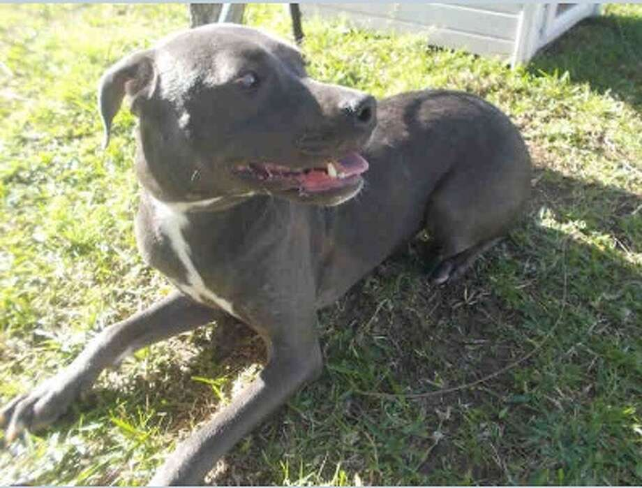 Name: Blu Photo: Fort Bend County Animal Services