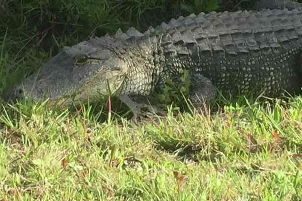 This  alligator was seen in La Porte off 16th street between Fairmont Parkway and Spencer Highway on April 14. Warm weather and mating season will be bring gators out and possibiy close to people.