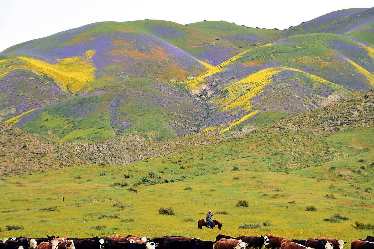 Ranch hands drive cattle to a new pasture against the backdrop of hills covered in blue, yellow and orange wildflowers, April 6, 2017, at Carrizo Plain National Monument near Taft, California. After years of drought an explosion of wildflowers in southern and central California is drawing record crowds to see the rare abundance of color called a super bloom. / AFP PHOTO / Robyn BeckROBYN BECK/AFP/Getty Images