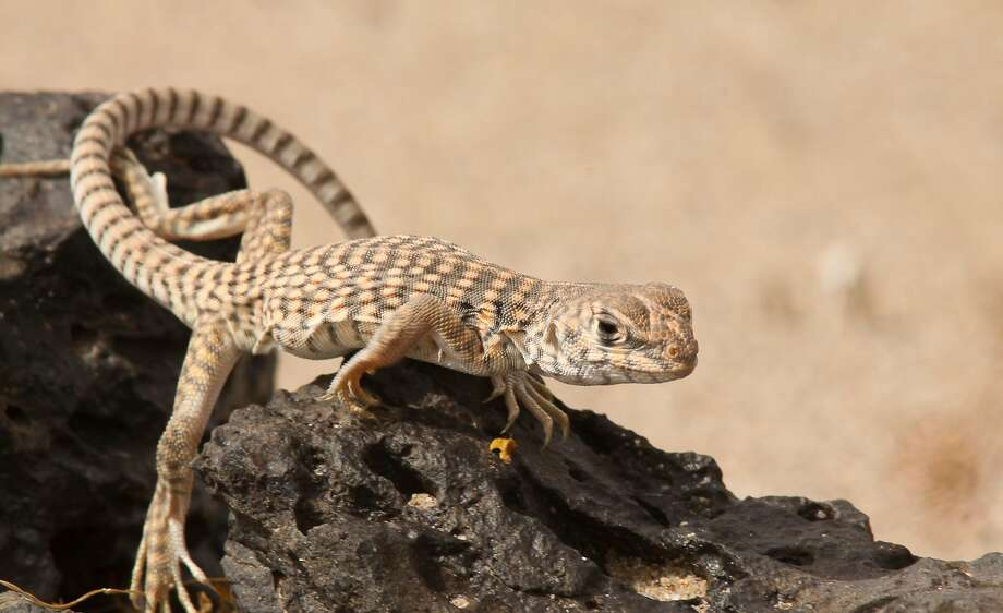A desert iguana is seen at Mojave Trails National Monument. Photo: David Lamfrom / National Parks Conservation Association