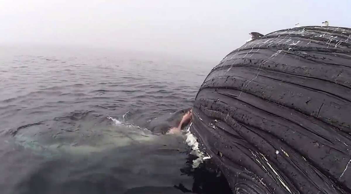 A pregnant great white shark munched on a humpback whale carcass for over 18 hours off the coast of California.