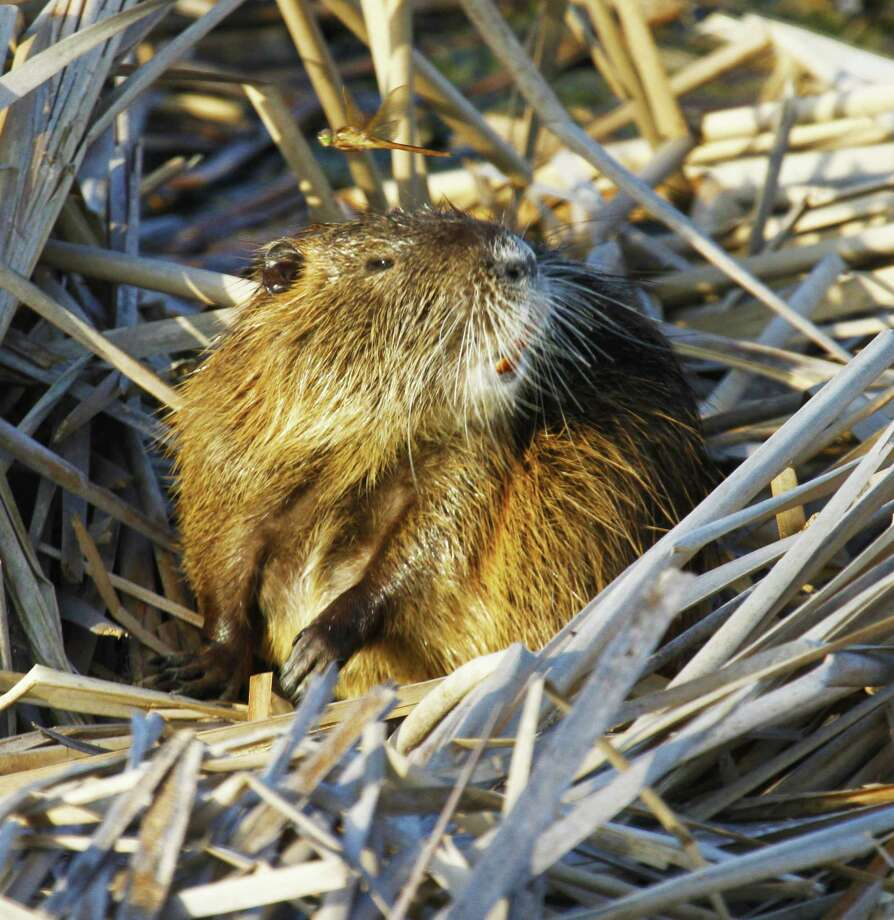 Intentionally released in Texas and Louisiana in the 1930s, nutria, aquatic rodents native to South America, cause significant damage to wetlands, compromise levees and other structures with their burrowing, and displace beneficial native wildlife such as muskrats. Photo: Shannon Tompkins
