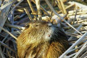 Intentionally released in Texas and Louisiana in the 1930s, nutria, aquatic rodents native to South America, cause significant damage to wetlands, compromise levees and other structures with their burrowing, and displace beneficial native wildlife such as muskrats.