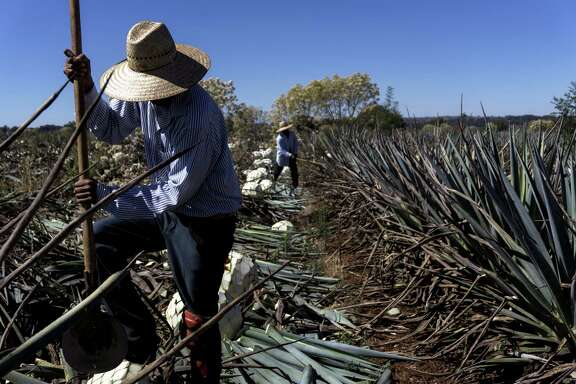 A field worker cuts Weber Blue agave this month at the Patron Spirits Co. plantation in Atotonilco El Alto, Mexico. The White House is looking to re-examine the North American Free Trade Agreement.