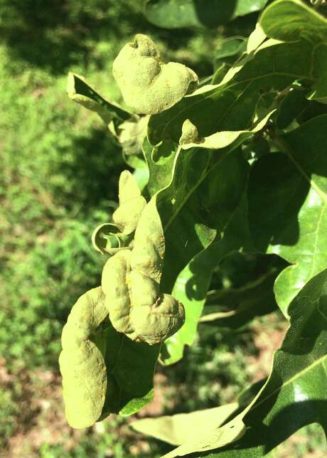 This is oak leaf blister, a fungal issue with the foliage. Photo: Courtesy Photo