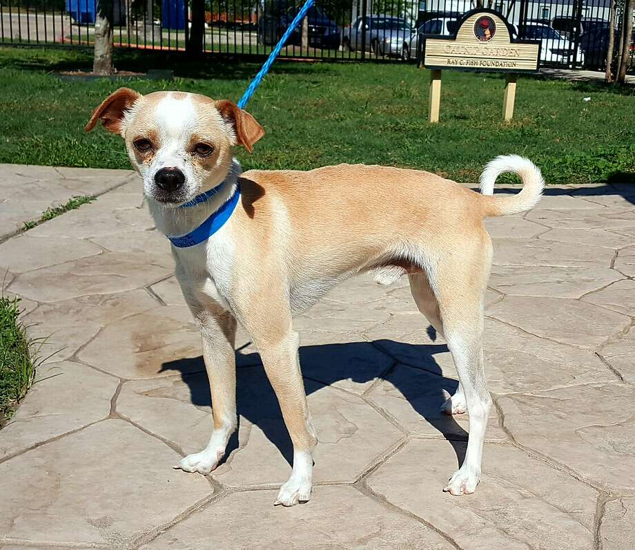 Richie will be available for adoption at 11 a.m. Friday at Citizens for Animal Protection, 17555 Interstate 10 W. More information: cap4pets.org or 281-497-0591. Photo: Bianca Burrascano