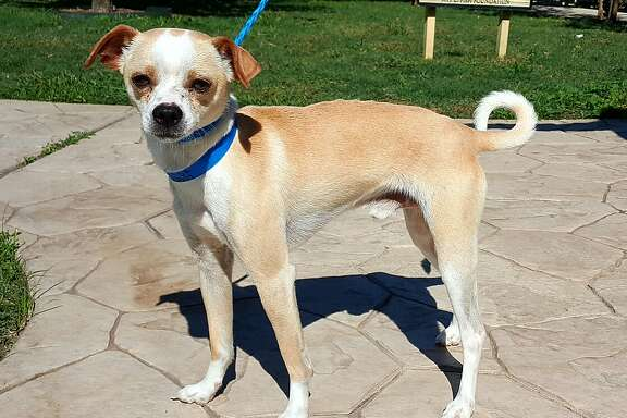 Richie will be available for adoption at 11 a.m. Friday at Citizens for Animal Protection, 17555 Interstate 10 W. More information: cap4pets.org or 281-497-0591.