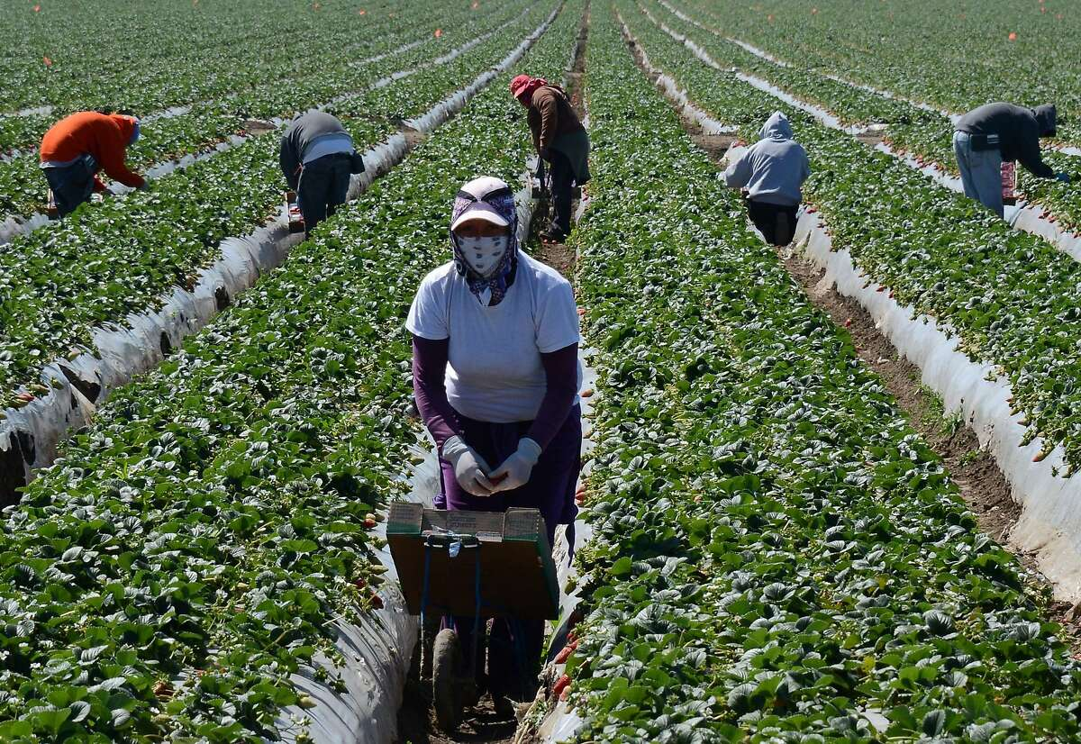 Migrant workers harvest strawberries at a farm in this March 13, 2013 file photo near Oxnard.