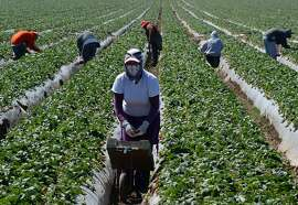 TO GO WITH AFP STORY by Leila Macor, US-politics-immigration-Internet Migrant workers harvest strawberries at a farm in this March 13, 2013 file photo near Oxnard, California. A new system that will require all US employers to check if job applicants are authorized to work, risks being a bureaucratic nightmare for immigrants and US citizens alike, critics say. The E-Verify system, part of a comprehensive immigration reform package passed by the US Senate last month, draws on official databases to decide if an individual has the right to work in the United States. The reform package -- which must still be approved by the House of Representatives -- also calls for the US-Mexico border fence to be bolstered as well as implementing E-Verify nationally.    AFP PHOTO/JOE KLAMARJOE KLAMAR/AFP/Getty Images