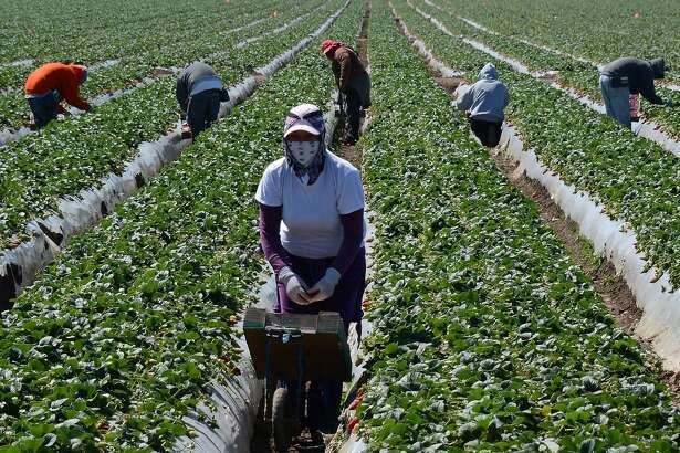 Migrant workers harvest strawberries at a farm in this March 13, 2013 file photo near Oxnard, California.
