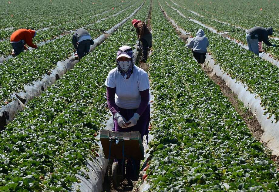 Trump policies will move California\'s berry production to Mexico ...