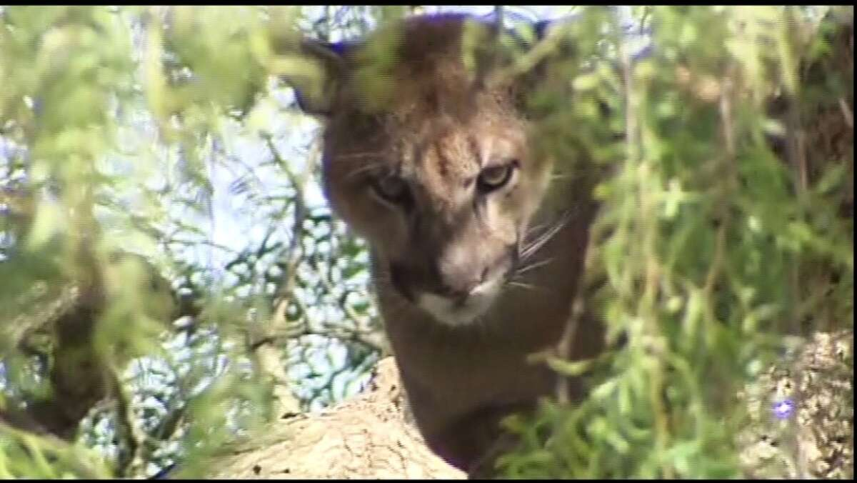 MOUNTAIN LION: According to the park service at Point Reyes, if a mountain lion approaches try to appear bigger than you are by raising your arms. DO NOT crouch down or bend over because it might mistake you for prey. And if it attacks, FIGHT BACK!