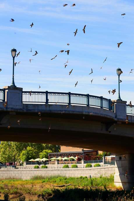Birds nest under the First street Bridge in downtown Napa. Photo: Michael Macor, The Chronicle