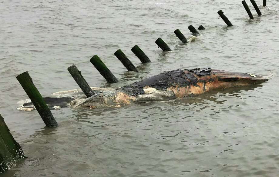 ADDS THAT THE WHALE IN THE PICTURE IS A HUMPBACK WHALE - This April 24, 2017 photo provided by MERR Institute, Inc. shows a dead humpback whale at Port Mahon, Del. Federal officials said humpback whales have been dying in unusually large numbers along the Atlantic Coast. (Suzanne Thurman/MERR Institute, Inc. via AP) Photo: Suzanne Thurman, HONS / MERR Institute, Inc.