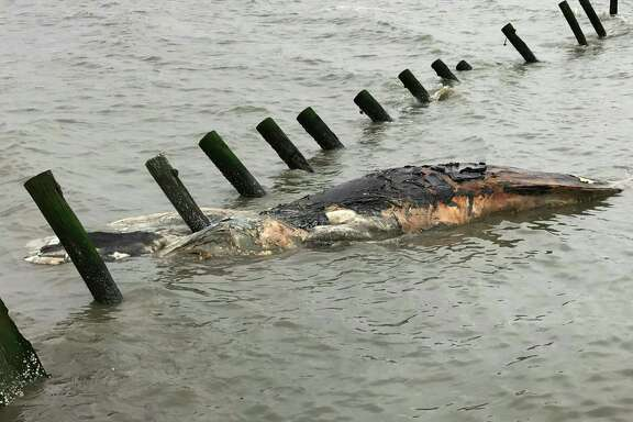 ADDS THAT THE WHALE IN THE PICTURE IS A HUMPBACK WHALE - This April 24, 2017 photo provided by MERR Institute, Inc. shows a dead humpback whale at Port Mahon, Del. Federal officials said humpback whales have been dying in unusually large numbers along the Atlantic Coast. (Suzanne Thurman/MERR Institute, Inc. via AP)
