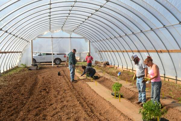 The Texas A&M AgriLife Research plant pathology team plants tomatoes in the high tunnels near Bushland.