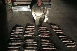 A state Environmental Conservation officer with more than 40 undersized striped bass from the Housatonic River. On April 23, 2017, state Environmental Conservation police caught five fishermen with undersized fish during an evening fisheries enforcement patrol along the Housatonic River in Stratford and Milford. According to state fishing regulations, the minimum length for striped bass is 28 inches and the daily creel limit is one fish.